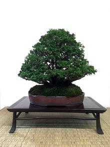 bonsai_07_04.jpg