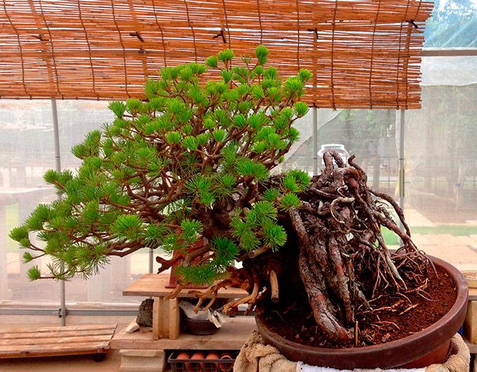 http://www.wochikochi.jp/serialessay/bonsai_03_03.jpg