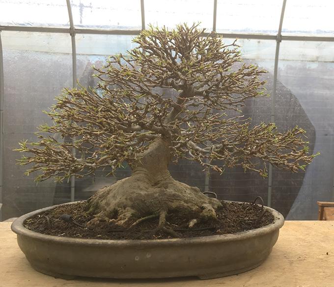 http://www.wochikochi.jp/serialessay/bonsai_04_02.jpg