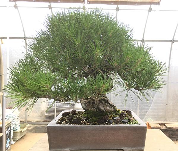 http://www.wochikochi.jp/serialessay/bonsai_05_01.jpg
