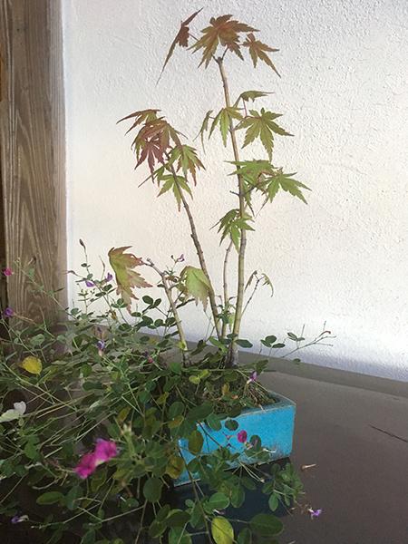 http://www.wochikochi.jp/serialessay/bonsai_06_04.jpg
